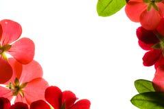 Flower Frame Border. Red Flower Borders White Background Royalty Free Stock Photography