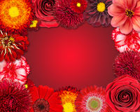 Flower Frame with Red Flowers on Purple Background Royalty Free Stock Images