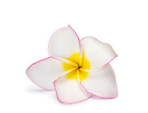 Flower frangipani Royalty Free Stock Photography