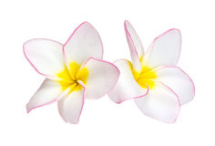 Flower frangipani Royalty Free Stock Photography