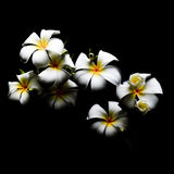 Flower, frangipani, with dark background Royalty Free Stock Image