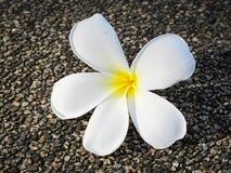 Flower. A Frangipani flowers on floor Stock Photos