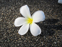 Flower. A Frangipani flowers on floor Royalty Free Stock Photography