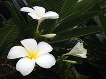 Flower. Frangipani,Pagoda,Temple Royalty Free Stock Photos