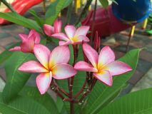 Flower Frangipani Royalty Free Stock Image
