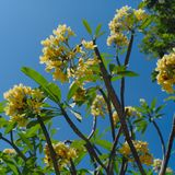 flower frangipani spa τροπική Στοκ φωτογραφία με δικαίωμα ελεύθερης χρήσης