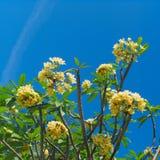flower frangipani spa τροπική Plumeria πέρα από το μπλε ουρανό Στοκ φωτογραφία με δικαίωμα ελεύθερης χρήσης