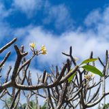 flower frangipani spa τροπική Plumeria Στοκ Εικόνες