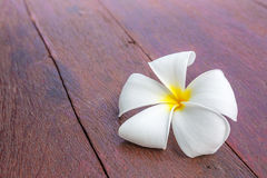 Flower, frangipani,  on the wooden floor. This flower, frangipani or plumeria was found on wooden floor Royalty Free Stock Photography