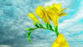 Flower freesia blossoms, time-lapse. Flower freesia blossoms, time lapse stock video