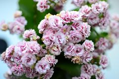 Calanchoe pink Flower Fresh, Spring flowers at home. Flower Fresh, Spring flowers, calanchoe , Green Field, Beautiful Nature,Lovely bunch of flowers. Pink royalty free stock photography