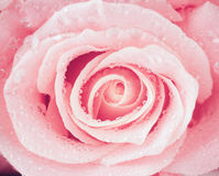 Flower of fresh wet rose Royalty Free Stock Photos