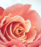 Flower of fresh wet rose Stock Image