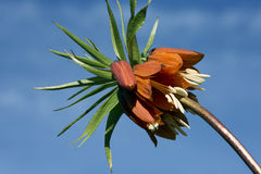 Flower Fritillaria Imperial. Stock Photography