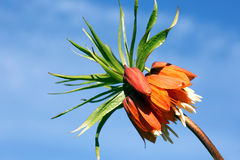 Flower Fritillaria Imperial. Royalty Free Stock Images