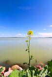 A flower in front of the Lake Balaton Royalty Free Stock Images