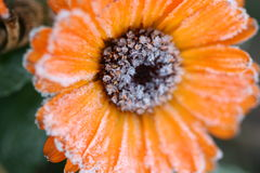 Flower with Frost. Orange flower with froat crystals royalty free stock photos