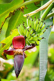 The flower and the fruit of the banana growing on a banana tree Royalty Free Stock Image