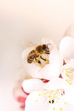 Flower in fruit garden honey bee Royalty Free Stock Photos