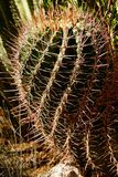 Flower, fruit and spines of tiny barrel cactus Royalty Free Stock Image