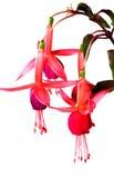 Flower Fuchsia. Isolated over white background Royalty Free Stock Photo