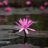 Flower fuchsia-colored Nymphaea nouchali star lotus Royalty Free Stock Image