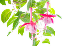 Flower of a fuchsia of an unusual form are isolated Royalty Free Stock Photos