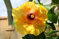 Yellow Hibiscus with red center close up. Flower in full bloom.Green leaves and bud in sunlight. Stamen with pollen. Rochester, NY royalty free stock photography