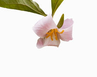 Flower in full bloom, isolated on white, green leaves. Stock Photography