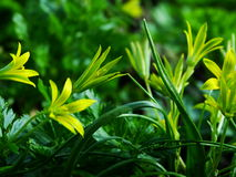 Flower, Gagea pratensis. Flower, gagea, bird bow spring nature bloom Royalty Free Stock Images
