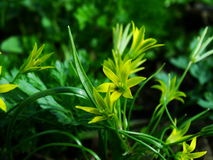 Flower, Gagea pratensis. Flower, gagea, bird bow spring nature bloom Stock Photography