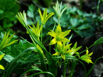 Flower, Gagea pratensis. Flower, gagea, bird bow spring nature bloom Stock Images