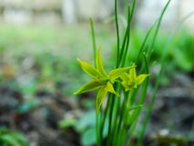 Flower, Gagea pratensis. Flower, gagea, bird bow spring nature bloom Royalty Free Stock Photos