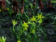 Flower, Gagea pratensis. Flower, gagea, bird bow spring nature bloom Stock Photo
