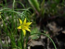 Flower, Gagea pratensis. Flower, gagea, bird bow spring nature bloom Stock Photos