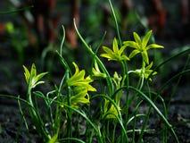 Flower, Gagea pratensis. Flower, gagea, bird bow spring nature bloom Royalty Free Stock Photo
