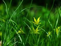 Flower, Gagea pratensis. Flower, gagea, bird bow spring nature bloom Royalty Free Stock Image