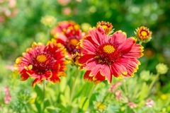 Flower Gaillardia Royalty Free Stock Image