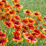 Flower Gaillardia Royalty Free Stock Photography