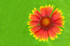 Flower Gaillardia Royalty Free Stock Images