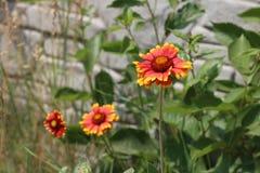Flower , gaillardia Stock Images