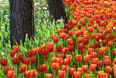Flower garden. Beautiful tulip garden in spring Stock Photography