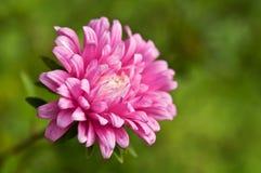 Flower in garden Royalty Free Stock Photo
