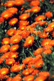 Flower garden. Orange flowers in garden in California Stock Photography