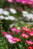 Flower Garden Royalty Free Stock Photo