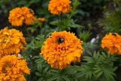 Bumblebee is sitting on an orange marigolds flower. The flower garden in August. The bumblebee sips at marigolds flower. Оrange flowers tagetes in the Stock Photos