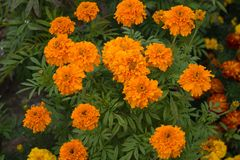 Yellow and orange flowers tagetes in the flowering period on the flowerbed. The flower garden in August. Оrange flowers tagetes in the flowering period on the Royalty Free Stock Images