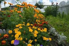 Flowers on the flowerbed near the house in August. The flower garden in August. Оrange and red flowers tagetes in the flowering period on the flowerbed Stock Image