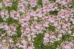 Flower garden of cleome Stock Photo