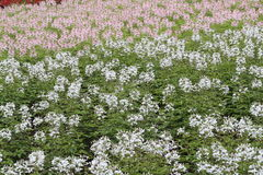Flower garden of cleome Stock Photography